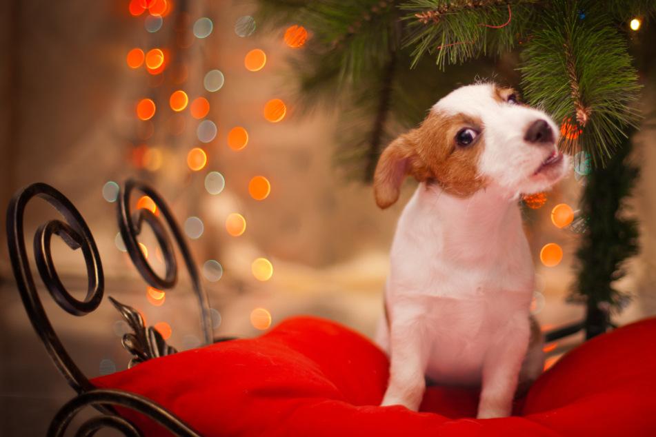 Hund und Katze unterm Weihnachtsbaum: Was tun, wenn Haustiere die Deko fressen?
