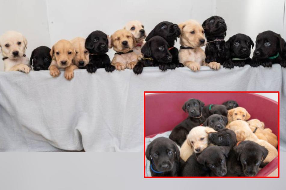 Hunde-Mama Bella mit zuckersüßem XXL-Wurf: 14 Welpen für ein Halleluja!