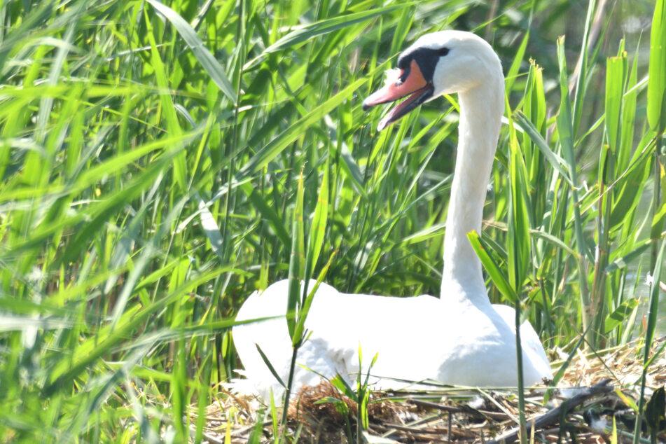 Eier zerstört! Schwanen-Mutter stirbt an gebrochenem Herzen