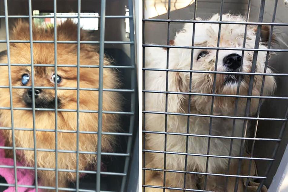 Unter anderem diese beiden Hunde hatte die Züchterin in ihrem Haus, obwohl vom Gericht ein Tierhaltungsverbot verordnet wurde.