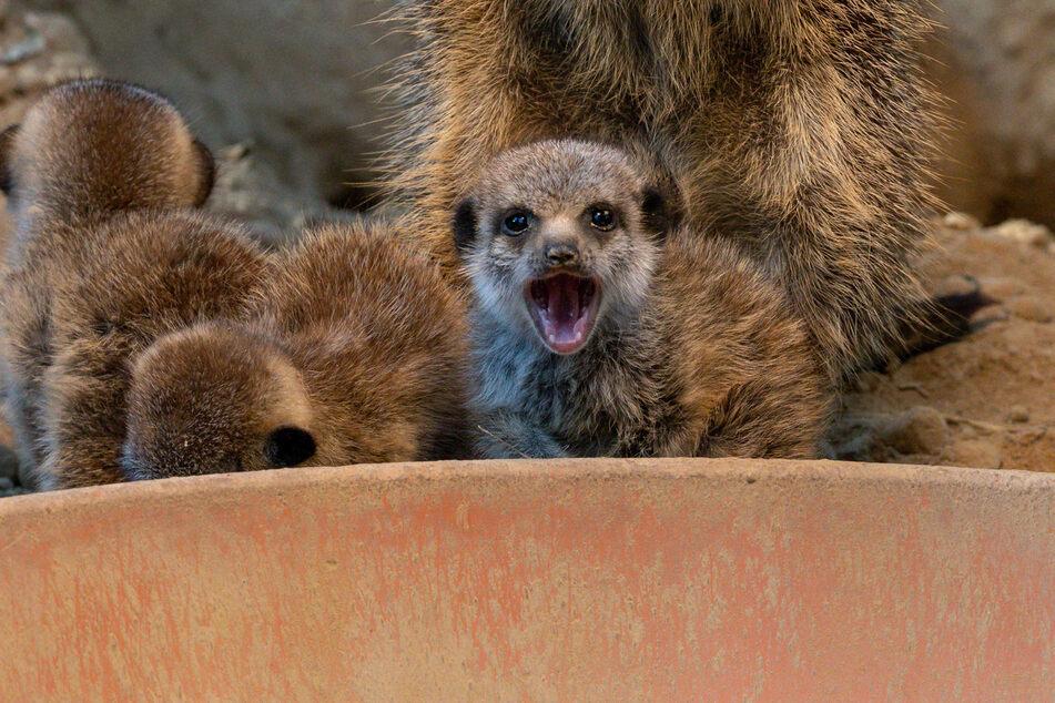 Die wachsamen Erdmännchen halten während des Zoo-Lockdowns vermehrt Ausschau.