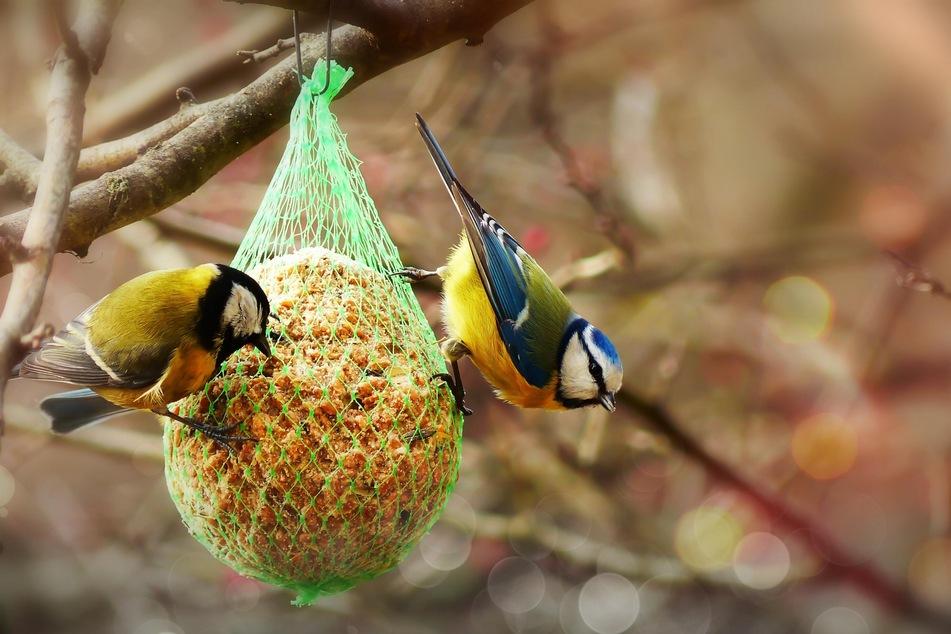 Wie der Name schon verrät, sind Meisenknödel bei Meisen besonders beliebt. Im Sommer sollten sie, wenn überhaupt, an schattigen Stellen hängen.