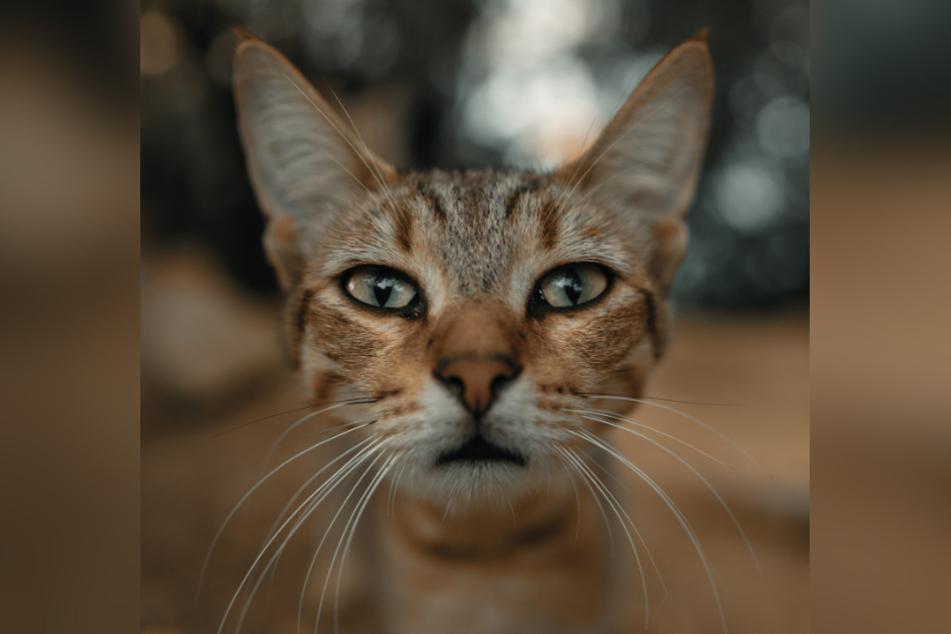 Die Ohren von Katzen machen nicht nur beim Hören einen guten Job, sondern sind auch zur Kommunikation mit Artgenossen unerlässlich.