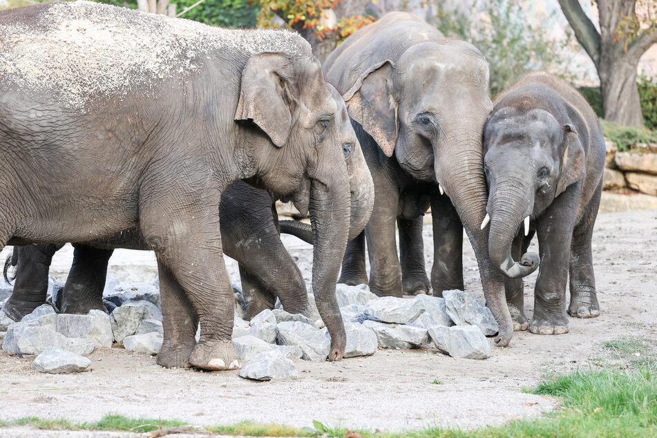 Fünf Elefanten in Leipzig angekommen: Berliner Dickhäuter sind im Zoo zu sehen