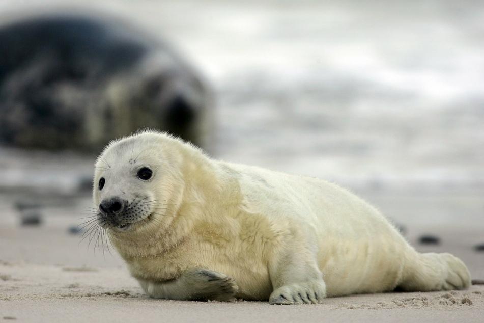 Seehunde sind sehr gute Schwimmer. Sie können bis zu 200 Meter tief und 30 Minuten lang tauchen. (Symbolbild).