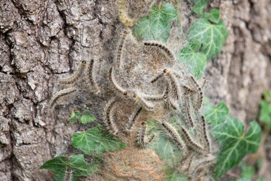 Eichenprozessionsspinner sind am Stamm einer Eiche zu sehen. Im Frühjahr und Sommer werden sich die Raupen des Eichenprozessionsspinners flächendeckend ausbreiten.