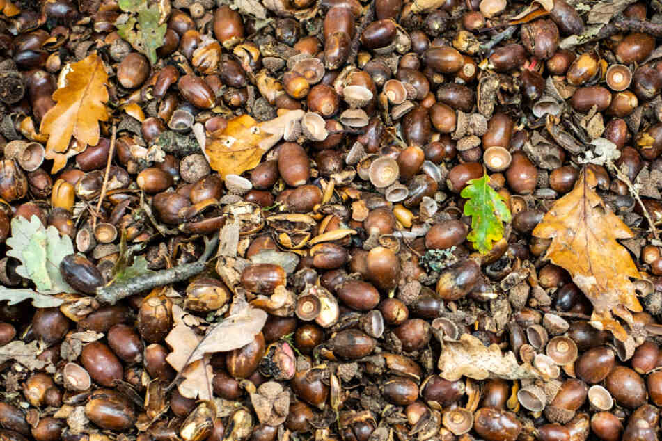 Zahreiche Eicheln haben sich auf dem Boden am Wegesrand in einem Wald im hessischen Falkenstein gesammelt.