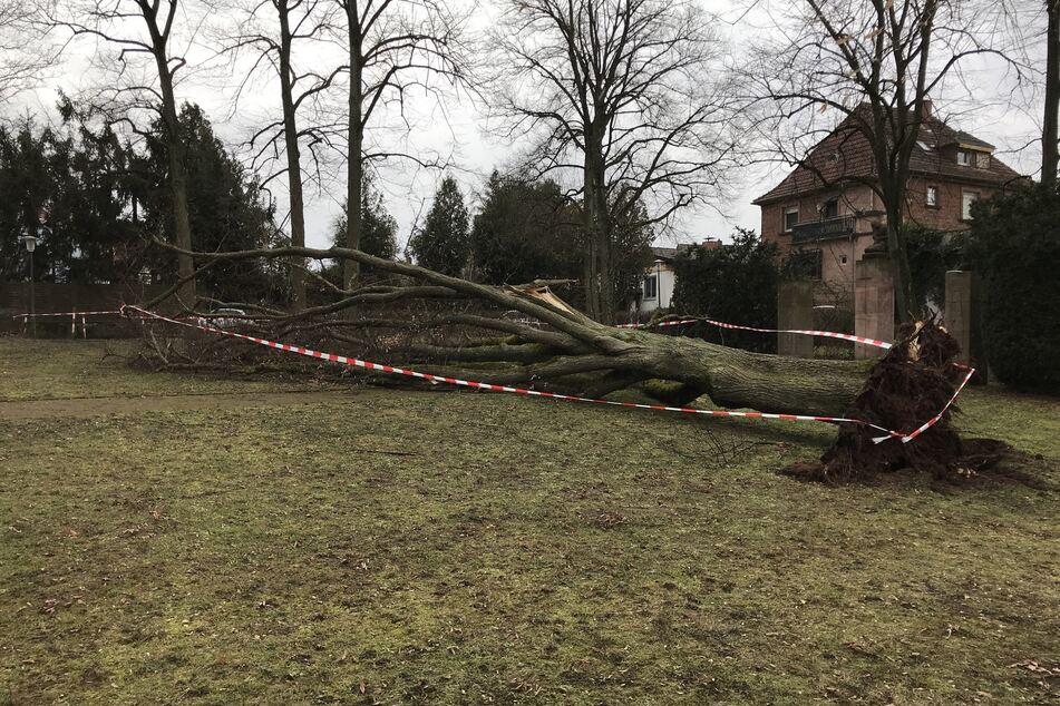 Schock beim Gassi gehen: Gewaltiger Baum stürzt auf Mann mit Hund herab