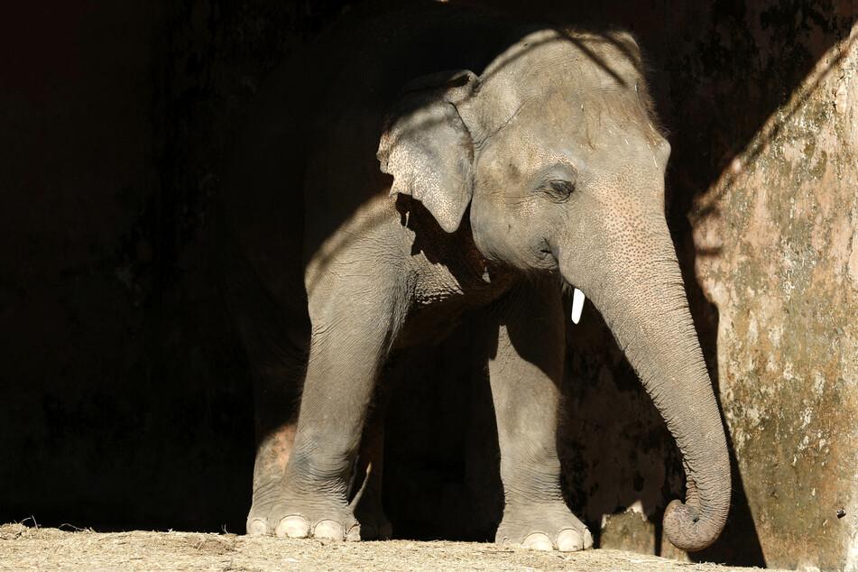 """Alle kämpfen um den """"Einsamsten Elefanten der Welt"""": Ist Kaavan endlich in Freiheit?"""