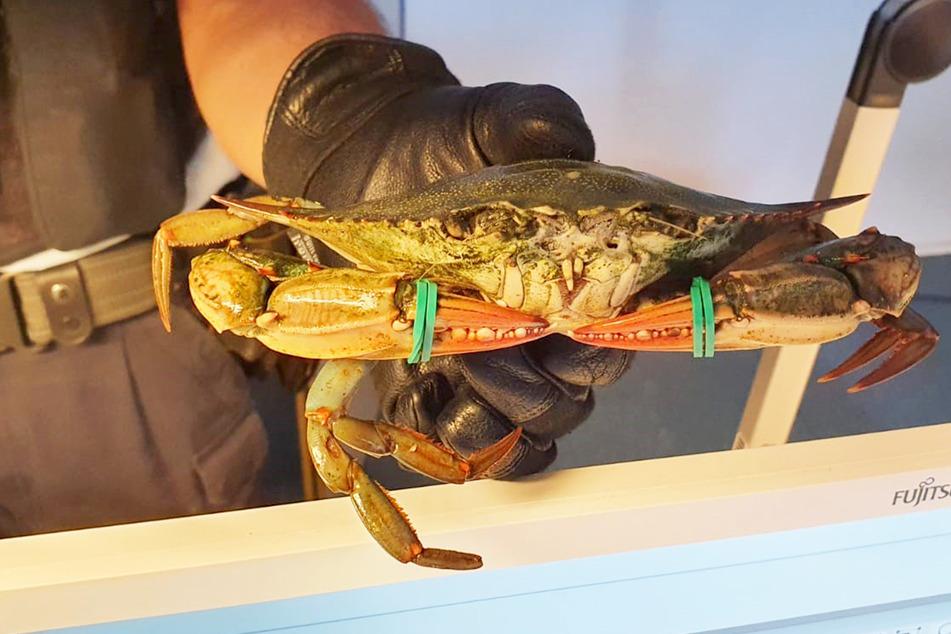 Drei solcher Krabben und mehrere Muscheln schleppte der 23-Jährige in Tüten herum.