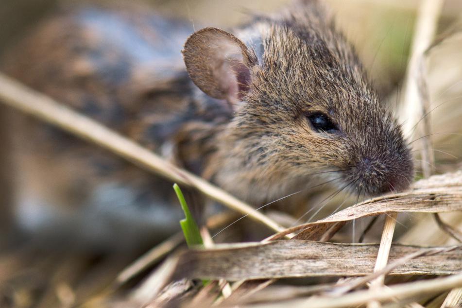 Mäuseplage nimmt biblische Ausmaße an: Kontinent wird von Nagern überschwemmt
