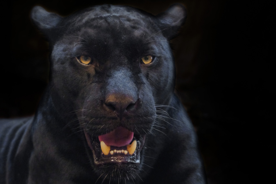 The black leopard made short work of his victim (stock image).