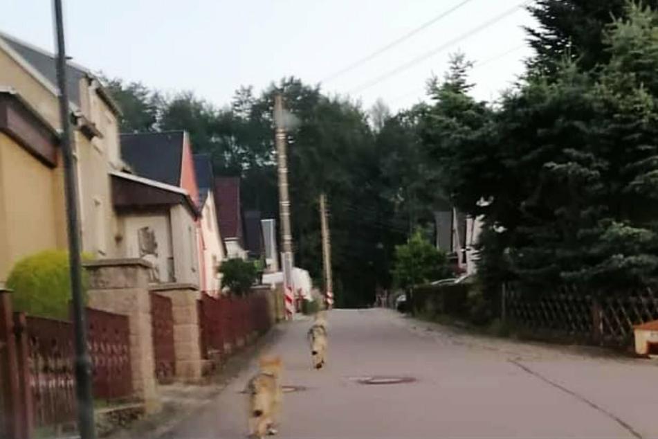Die beiden Wolfhunde waren in der Hofackersiedlung in Thalheim unterwegs.