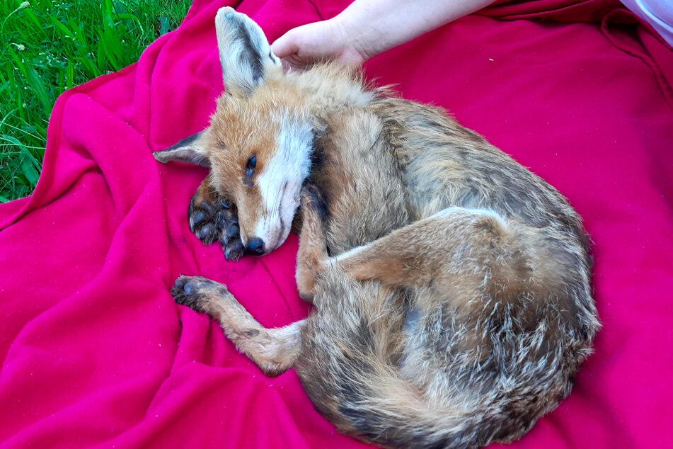 Dieser kürzlich gefundene erkrankte Fuchs musste von seinen Leiden erlöst werden.