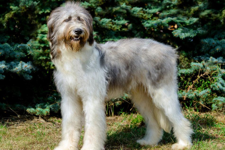 Ein rumänischer Hirtenhund hat seinen Halter plötzlich angegriffen.