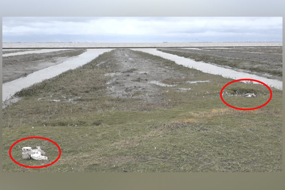 Geflügelpest wütet weiter: Bislang hunderte tote Wildvögel entdeckt