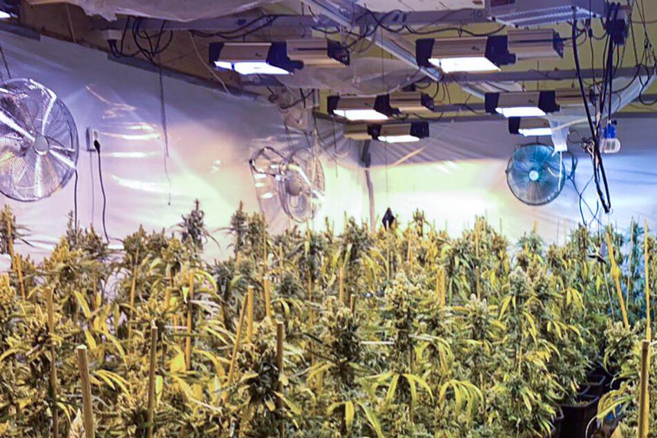 Immer wieder entdeckt die Polizei geheime Marihuana-Plantagen. (Beispielfoto)
