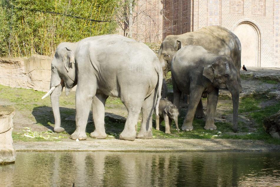 Noch bekommen die Elefanten des Leipziger Zoos nicht allzu viel von der Corona-Krise mit.