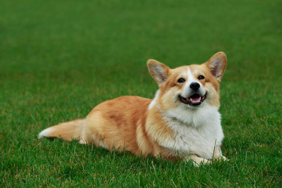 Corgis (pictured) and Dorgis have been favorites of the Queen her whole life (stock image).