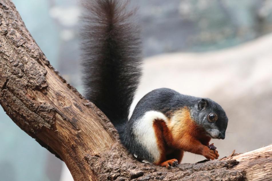 Puschel-Alarm: Kleine Hörnchen mischen Tropenhaus auf