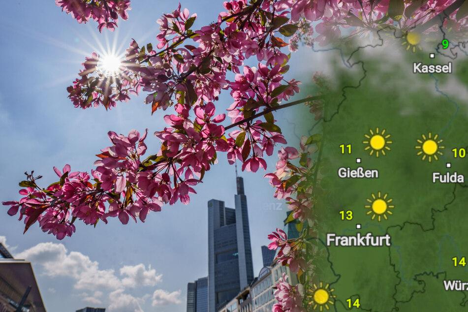 Auch am Wochenende bleibt in Hessen - wie hier am Rathenauplatz in Frankfurt - das Wetter frühlingshaft.