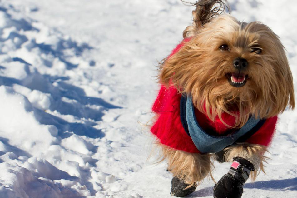 Hundeschuhe: Wann Hunde im Winter einen Pfotenschutz tragen sollten