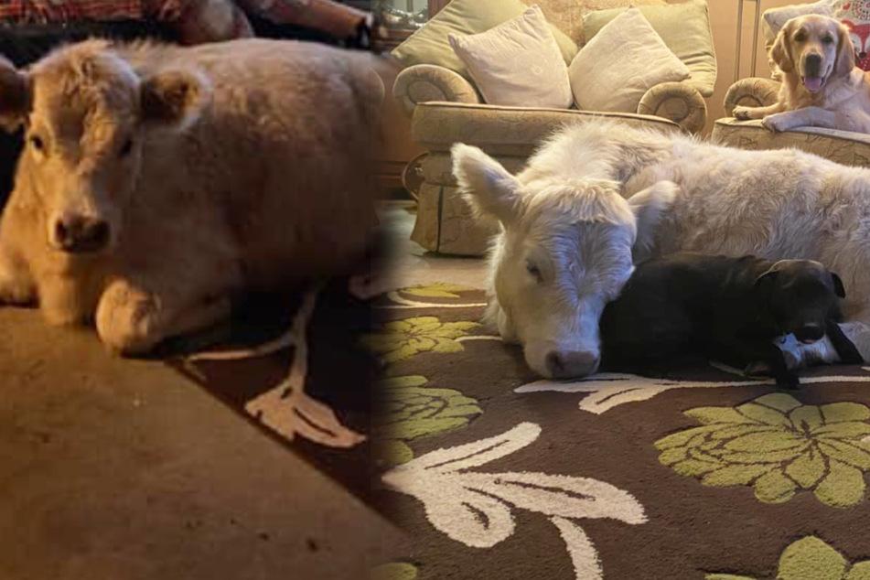 Kälbchen lebt im Wohnzimmer und kuschelt mit Hunden und Katzen