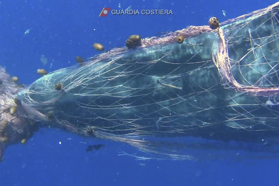 Ein Wal hat sich in einem Fischernetz in der Nähe der Liparischen Inseln im Mittelmeer verheddert.