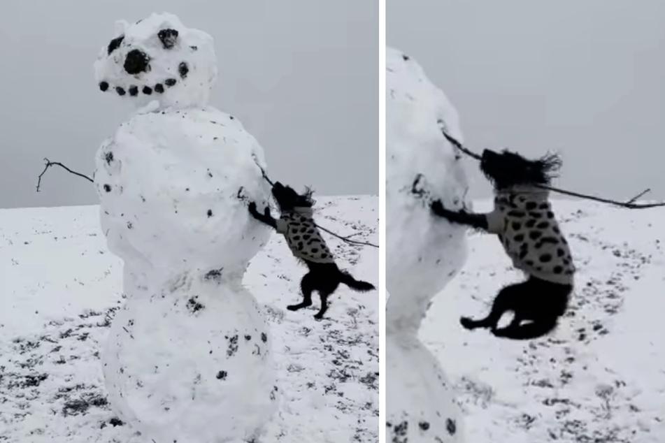 Zu komisch: Diese Hündin gibt alles, um einem Schneemann den Arm zu klauen