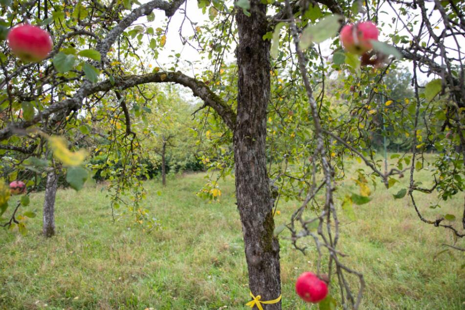 """Das Landsratamt Esslingen wurde für diese Aktion mit dem Bundespreis """"Zu gut für die Tonne"""" ausgezeichnet. Denn mit dem gelben Band am Stamm gibt der Besitzer der Bäume die Erlaubnis zum Pflücken des Obstes."""