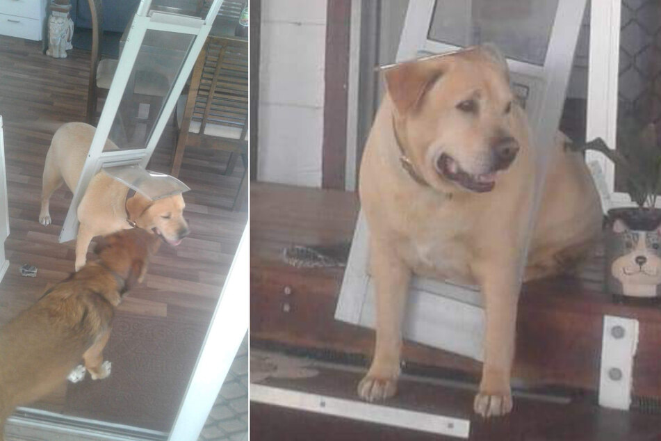 Chubby dog gets stuck in door and rips it out