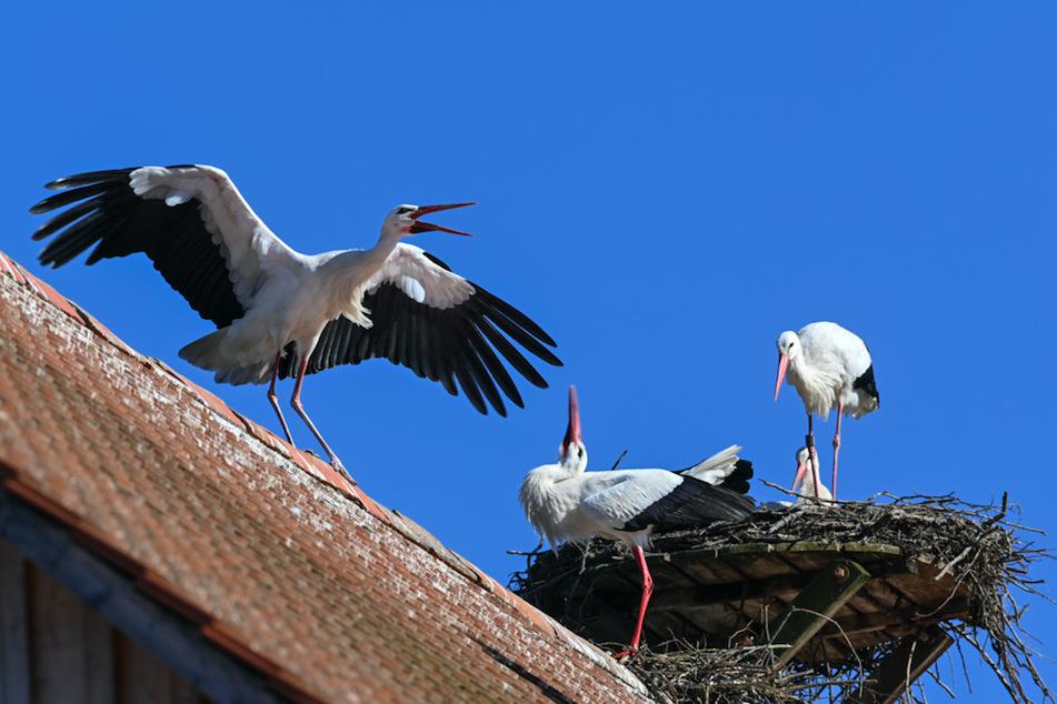Ein Storchenpaar steht in seinem Horst , während im Vordergrund ein Storch einen anderen von einem Horst vertreibt.