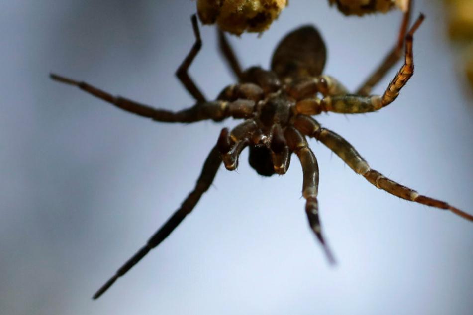 """Kinder lassen sich von tödlicher Spinne beißen, damit sie """"Spider-Man"""" werden"""