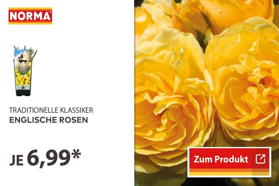 Englische Rosen für 6,99 Euro