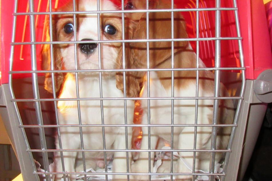 Die Hundewelpen zeigten teilweise gesundheitliche Auffälligkeiten.