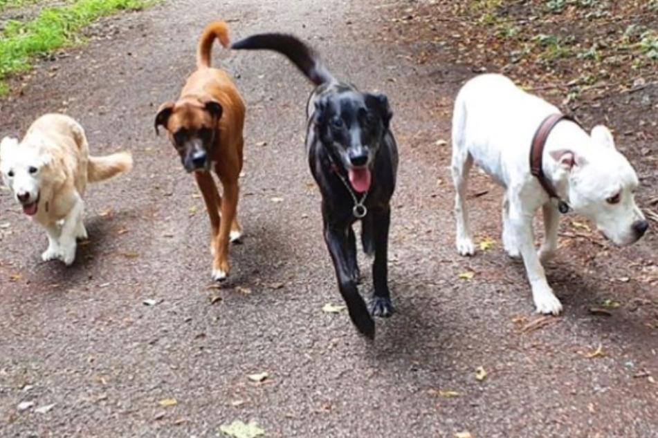 Rocky (zweiter Hund links) mit seiner neuen Gang - nach etlichen Jahren als Dauergast im Tierheim Köln Dellbrück ist der braune Boxer-Mix endlich angekommen.