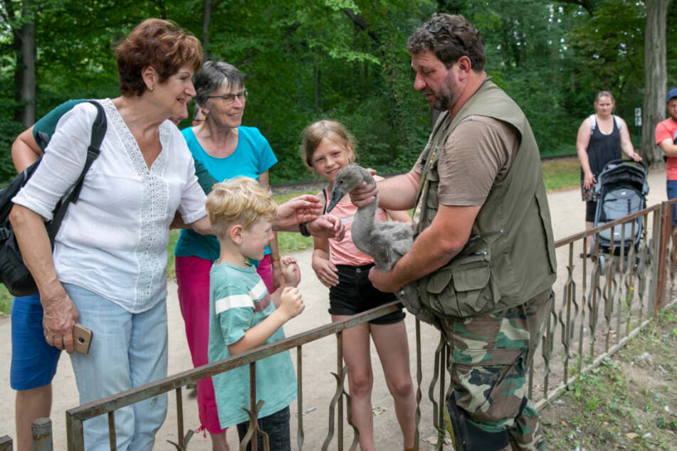 Schwan-Flüsterer präsentiert Jungtiere vor Publikum
