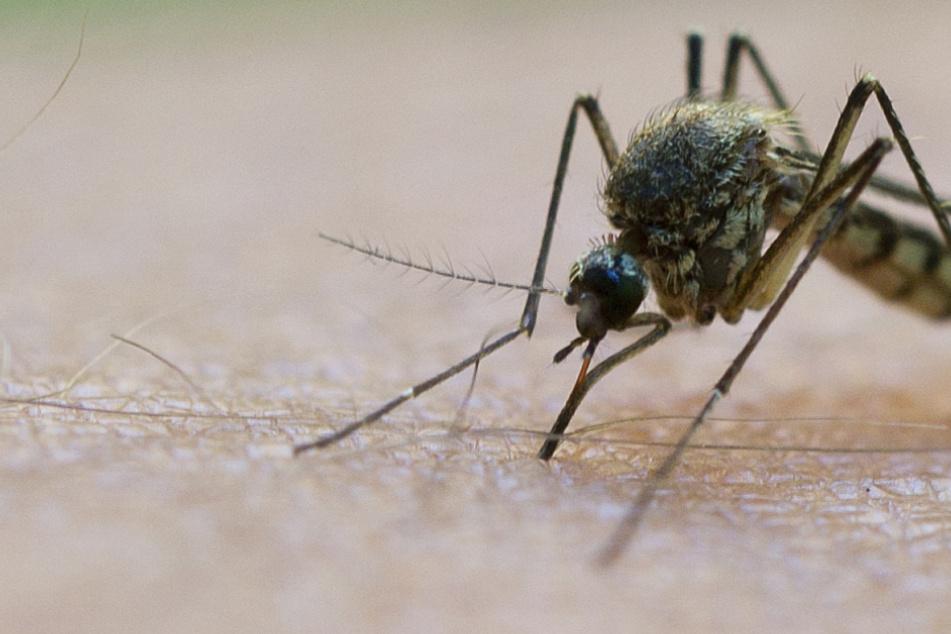 Mücken! Viele Sachsen werden die Plagegeister in den kommenden Wochen spüren.