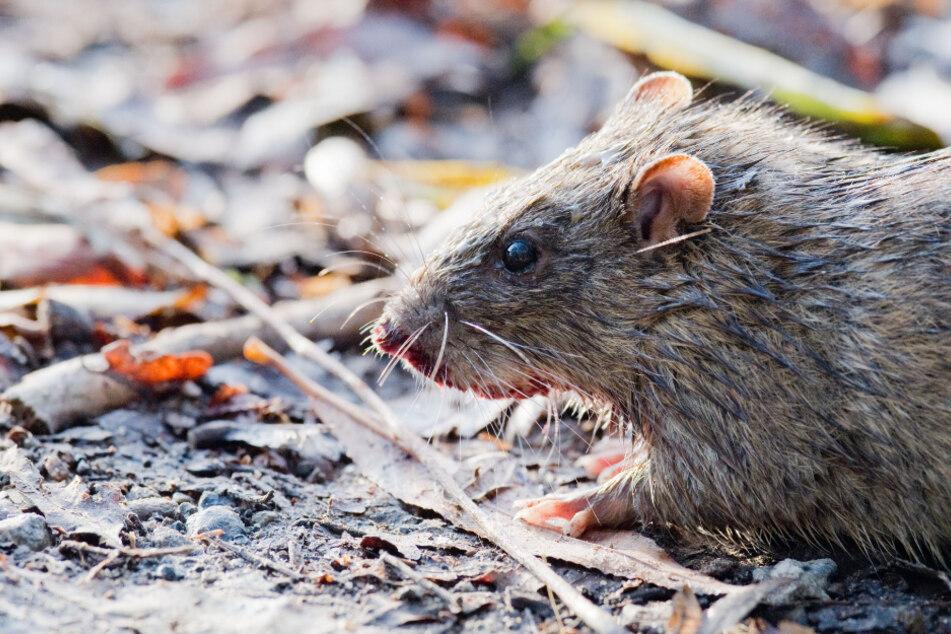 Ratten können wochenlang nichts aus Restaurants essen.