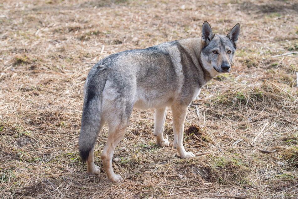 Die streunenden Wolfshunde aus Thalheim werden zum Problem, weil der neue Besitzer unbekannt ist.