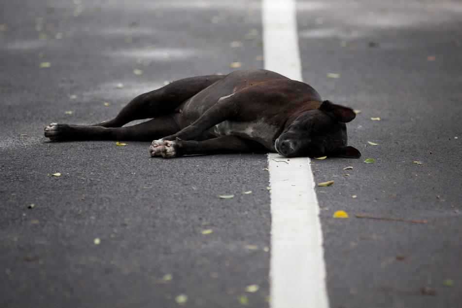 Zeugen gesucht: In Pulheim wurde ein Hund bei einem Verkehrsunfall getötet (Symbolbild).