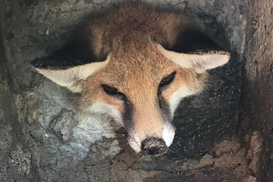 Der arme Fuchs sah alles andere als glücklich aus.