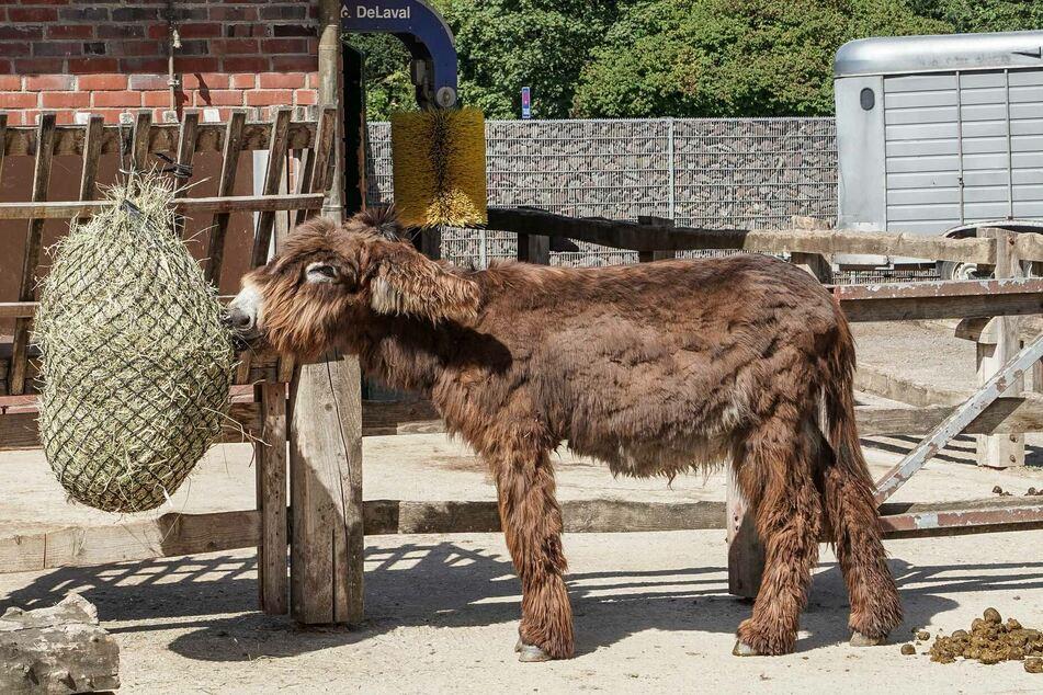 """Esel-Stuten """"Jelly Bean"""" ist im Kölner Zoo angekommen."""