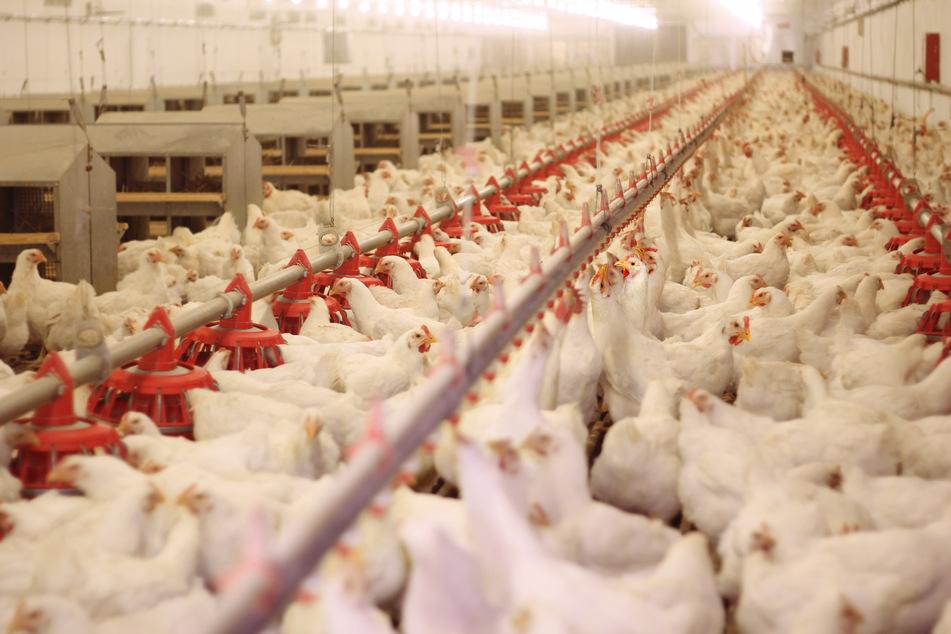 In zwei Geflügel-Betrieben im Vogtland ist die Vogelgrippe ausgebrochen (Symbolbild).