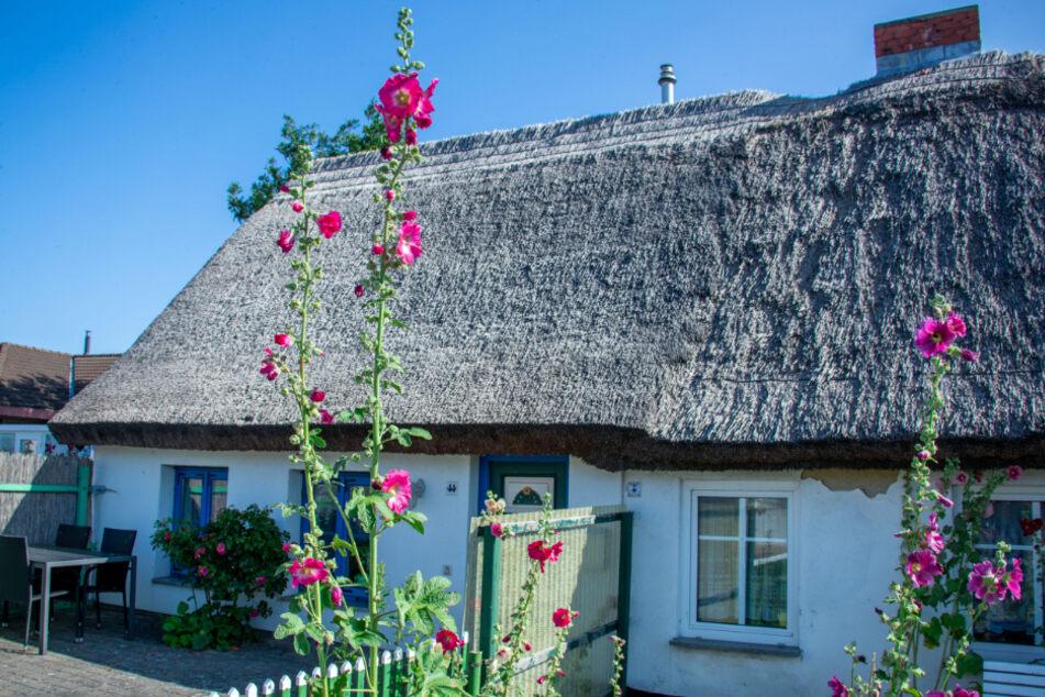 Stockrosen blühen vor einem restgedeckten Ferienhaus am Hafen von Schaprode auf der Inseln Rügen.
