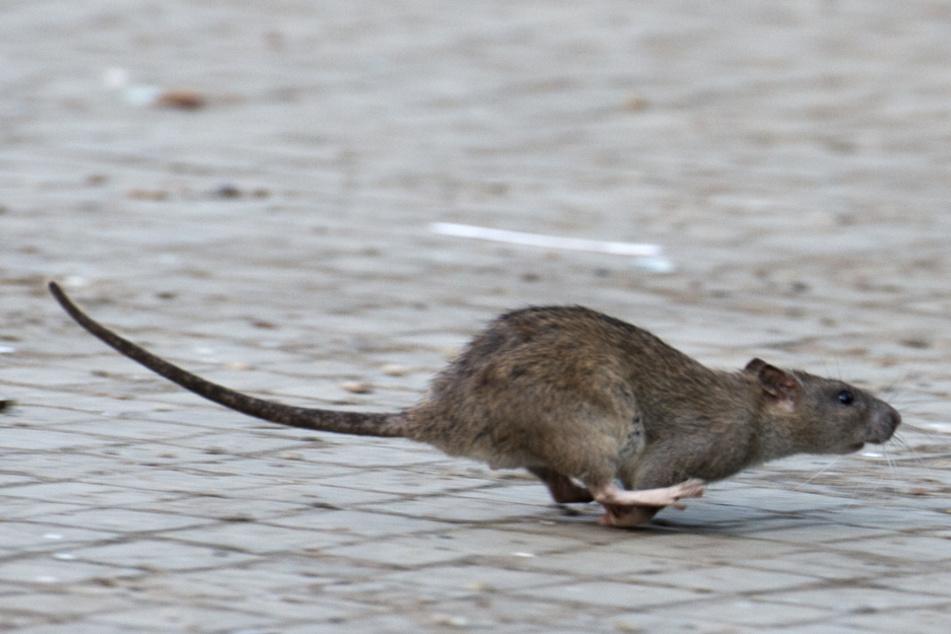 Reutlingen bekämpft derzeit Ratten. (Symbolbild)