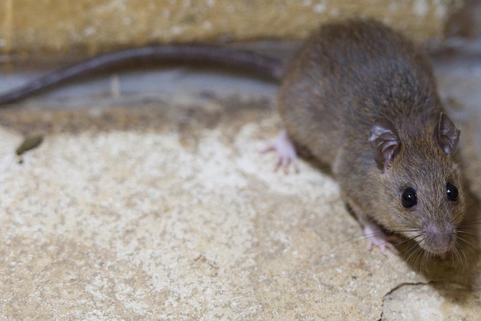 Frau fällt wegen Ratten-Urin ins Koma