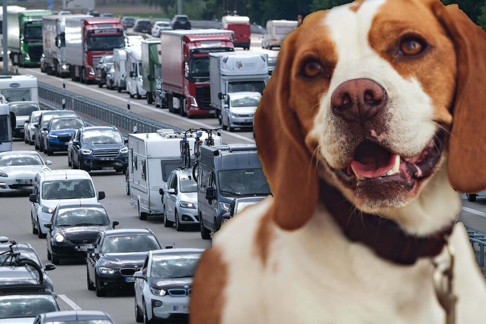 Fotomontage: Der zehn Jahre alte Englische Foxhound sorgte auf der Autobahn für mächtig Wirbel (Symbolbild).