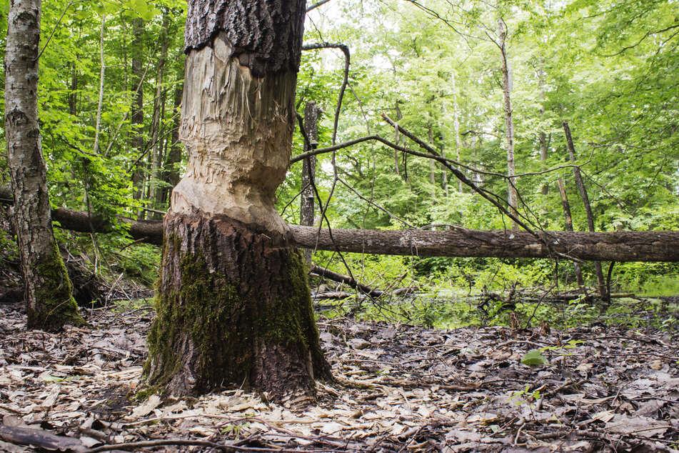 Ein Baumstamm mit Biber-Bissspuren. (Symbolbild)