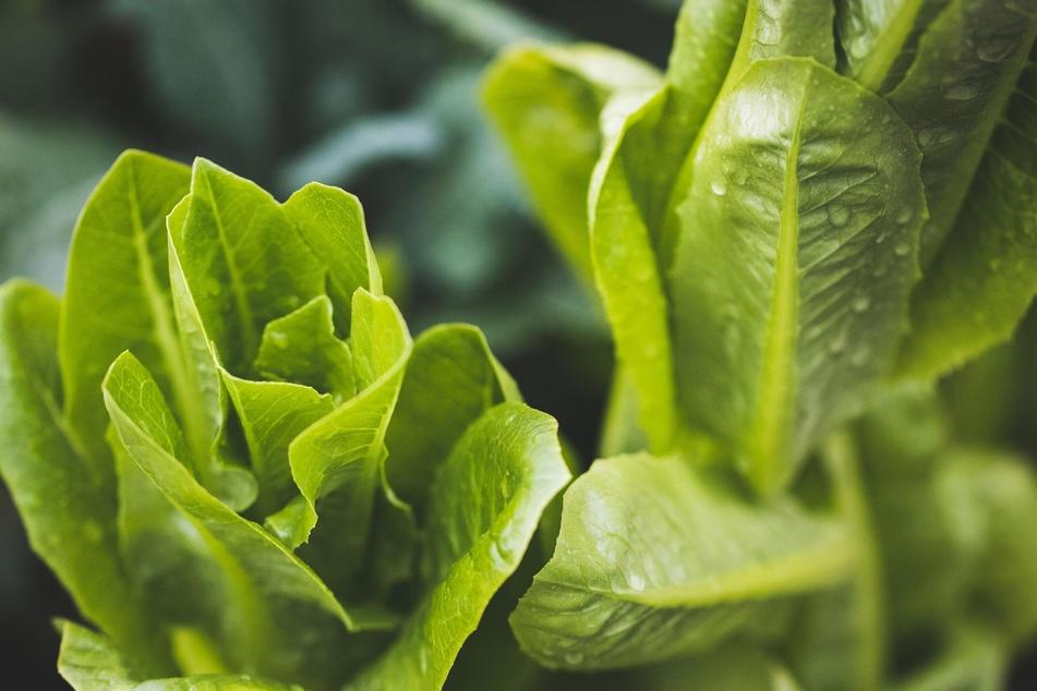 Pflücksalat, aber auch Rucola oder Feldsalat eignen sich ebenfalls gut für den Balkon.